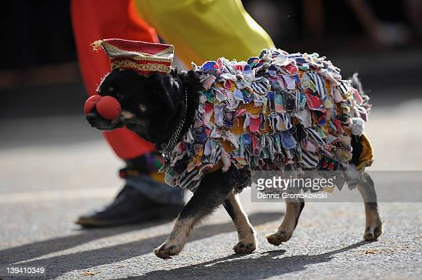 A dog dressed as a Carnival reveler accompanies a float in the Rose Monday parade on February 20 2012 in Cologne Germany Rose Monday is the highpoint...