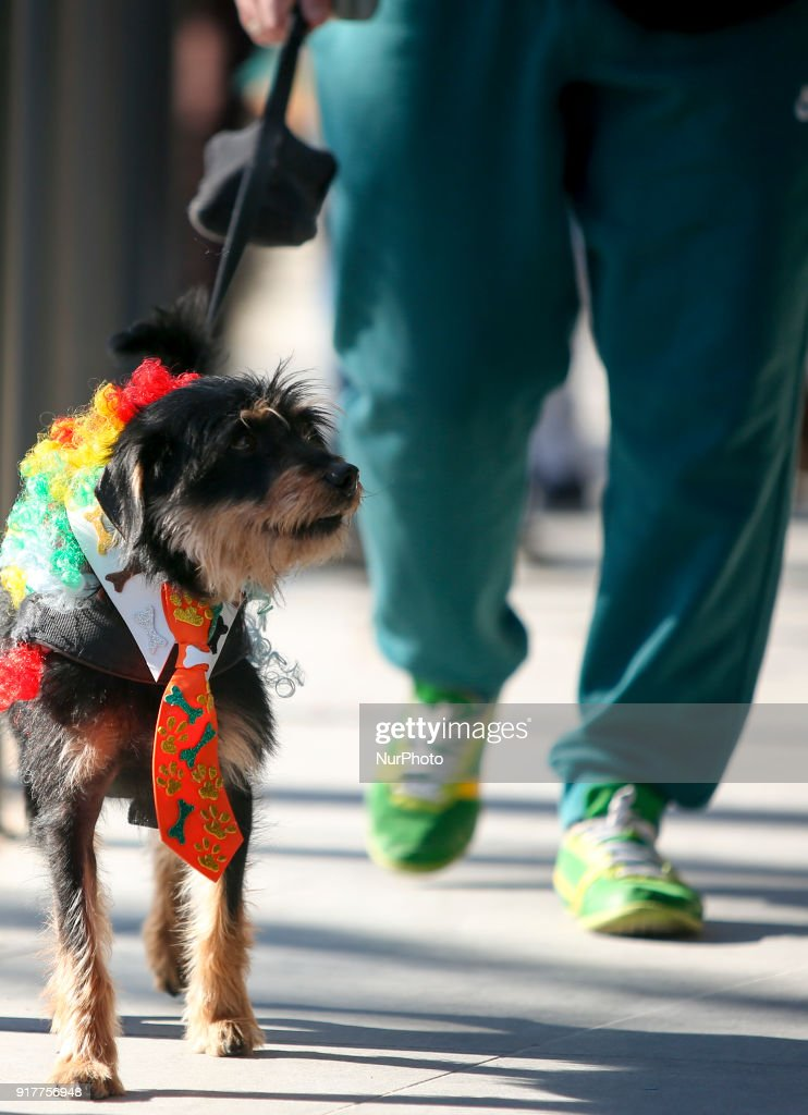 A dog dressed as a clown takes part on the Carnival Clown's Parade at Sesimbra village on February 12, 2018.