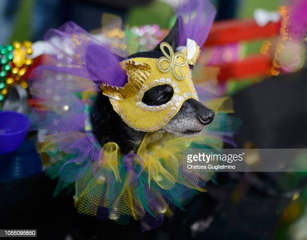 A dog dressed in a Mardi Gras costume seen at the Haute Dog Howl'oween Parade 2018 on October 28 2018 in Long Beach California