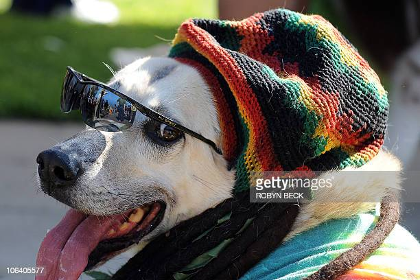 A dog dressed in a reggae costume attends the Halloween Dog Costume Parade in Long Beach California on October 31 2010 AFP PHOTO / Robyn Beck