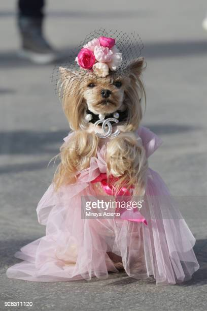 A dog dressed in Chanel at the Chanel fashion show during Paris Fashion Week Womenswear Fall/Winter 2018/2019 on March 6 2018 in Paris France