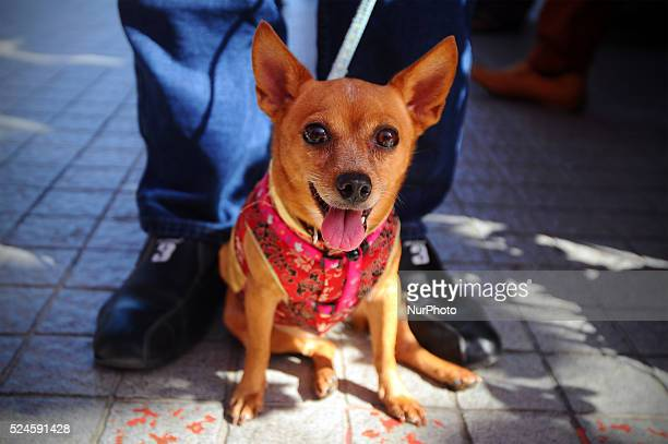 A dog dressed in Chinese traditional outfit during the first day of Chinese Lunar New Year at a temple outside Kuala Lumpur Malaysia Saturday January...
