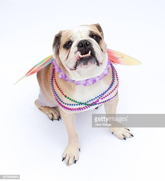 dog dressed in drag, costume - jake warga fotografías e imágenes de stock