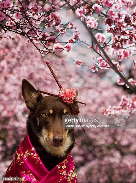 Dog dressed in kimono under Cherry Blossom Tree