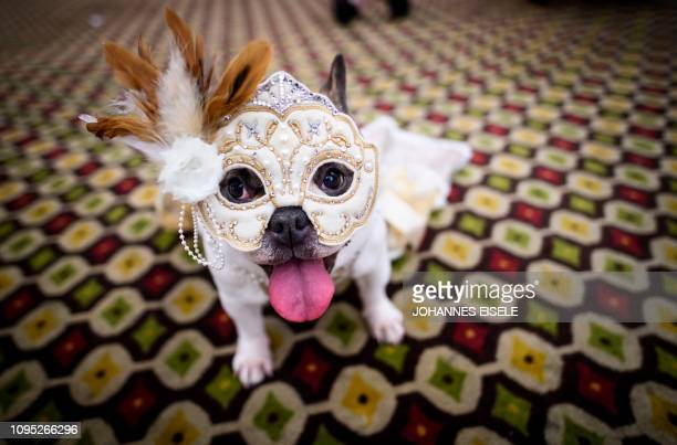 TOPSHOT A dog dressed up for a show sits backstage at the 16th annual New York Pet Fashion Show on February 7 2019 in New York City