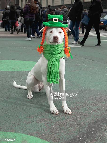 dog dressed up for st. patrick's day - st patricks day stock pictures, royalty-free photos & images