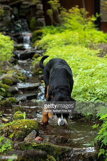 Dog drinking from stream