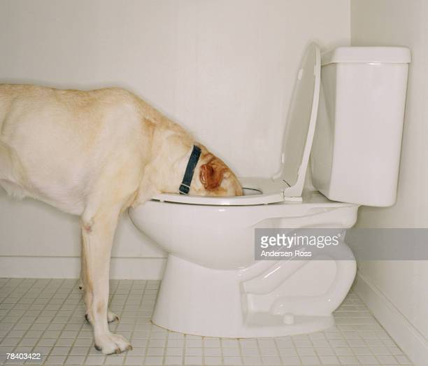 Dog drinking out of toilet