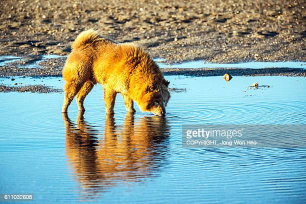 A dog drinking water in the puddle