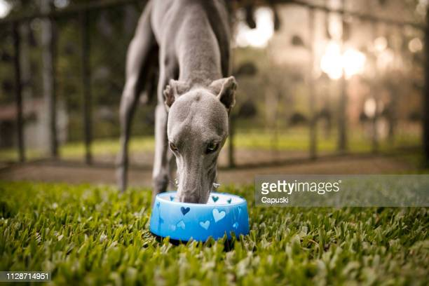 dog drinking water - greyhound stock photos and pictures