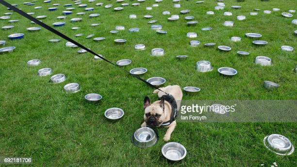 Dog drinks from a bowl at a water station as thousands of excited participants and their owners take part in the Great North Dog Walk on June 4, 2017...
