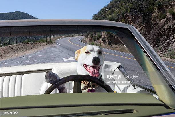 Dog driving convertible in the mountains