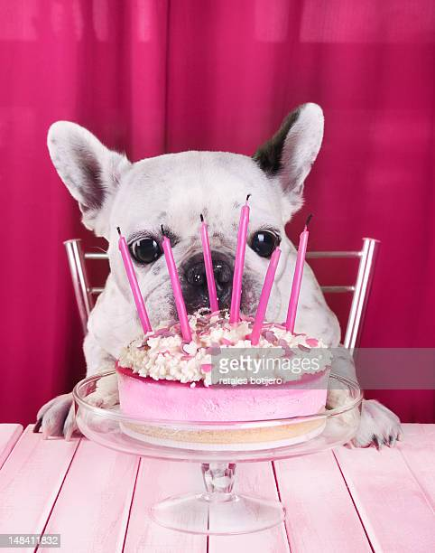 Dog eating birthday cake