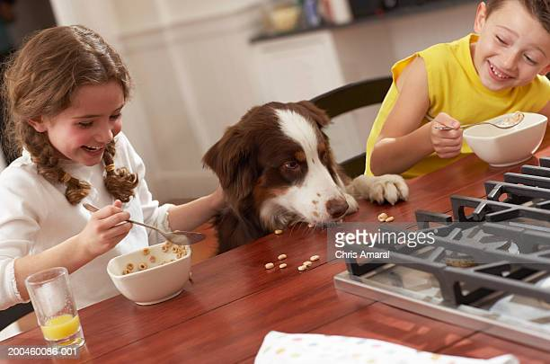 dog eating spilt cereal from kitchen table, children (6-8) laughing - dog eats out girl stock photos and pictures