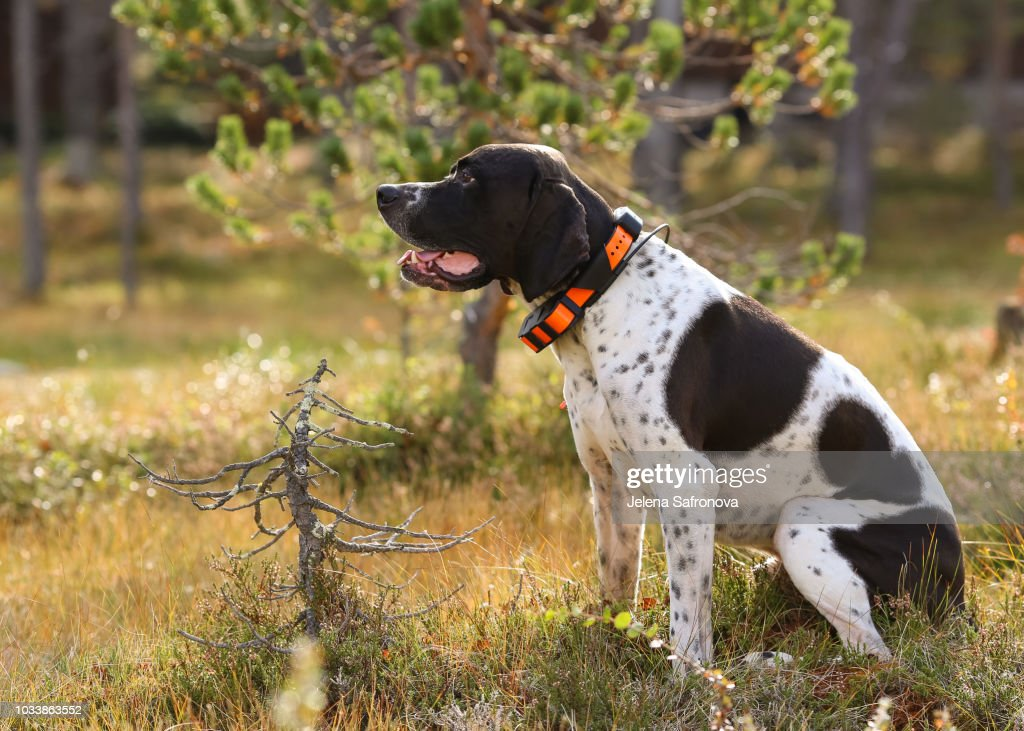 Dog english pointer : Stock Photo