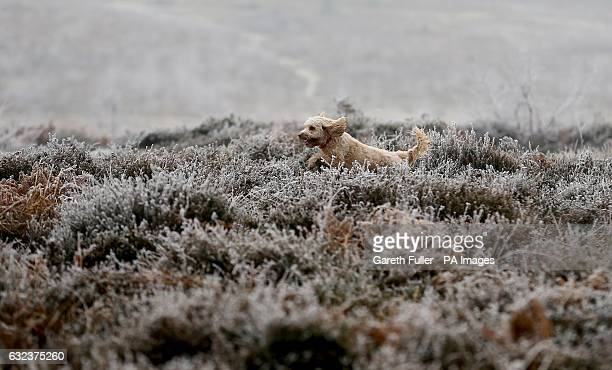 A dog enjoys the heathland in Hothfield Kent as some rural areas are expected to see lows of minus 7C as the wintry weather continues according to...
