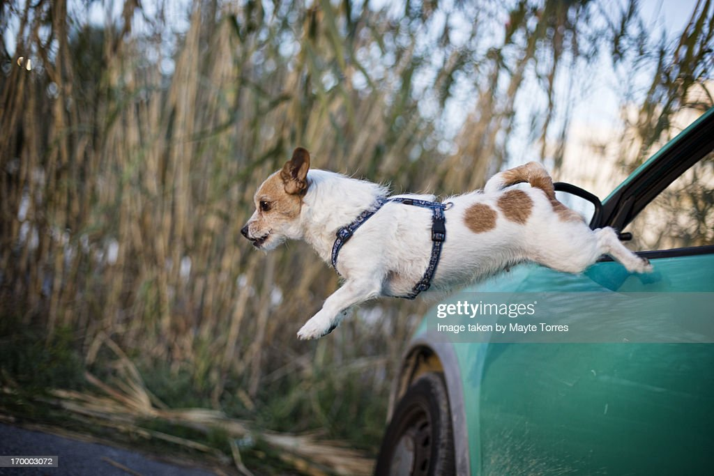 Dog escaping from car : Stock Photo