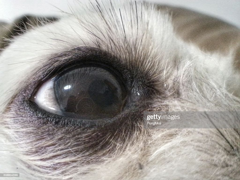 Dog Eye Reflections : Stock Photo