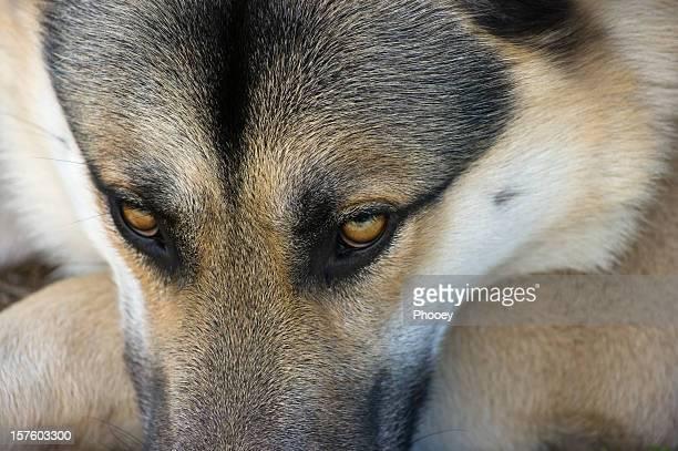 chien yeux - german shepherd teeth photos et images de collection