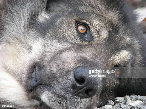 dog eyes - bortes stock pictures, royalty-free photos & images