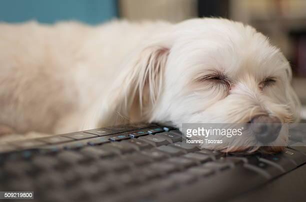 dog face on black keyboard - siesta key fotografías e imágenes de stock