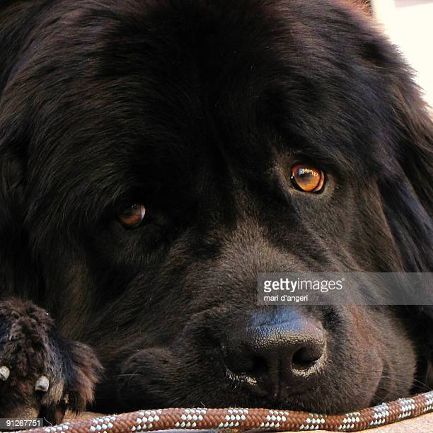 dog face  - newfoundland dog stock photos and pictures