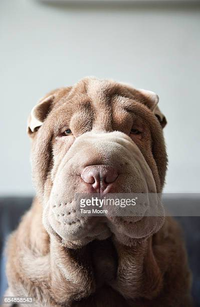 Dog face with lots of skin folds