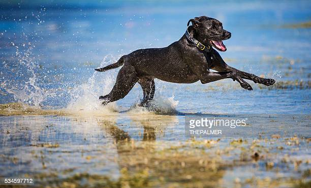 dog fast as a bullet - black labrador stock pictures, royalty-free photos & images