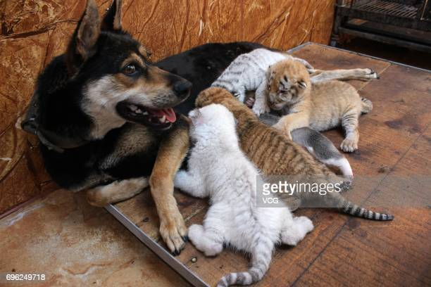A dog feeds four tiger cubs born by a 5yearold Bengal tiger at Rongcheng County on June 14 2017 in Weihai Shandong Province of China Four tiger cubs...