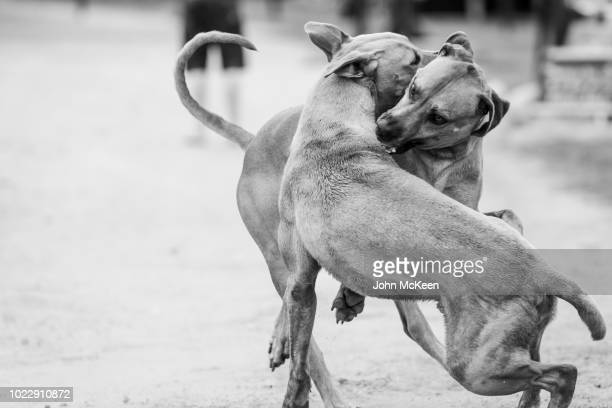 dog fight - dog fight stock pictures, royalty-free photos & images