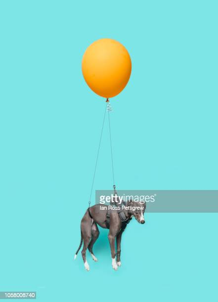 dog floating with yellow balloon - one animal stock pictures, royalty-free photos & images
