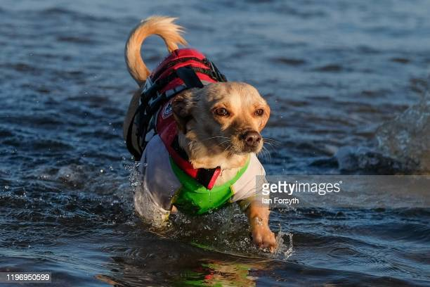 A dog follows its owner into the water during the New Year's Day Dip on January 01 2020 in Saltburn By The Sea England The event takes place each...