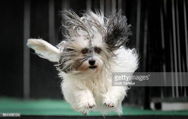A dog from Australia jumps into a pool of water as he competes in the Speed Retrieve at the Common Woof Games during the 2018 Melbourne Dog Lovers...