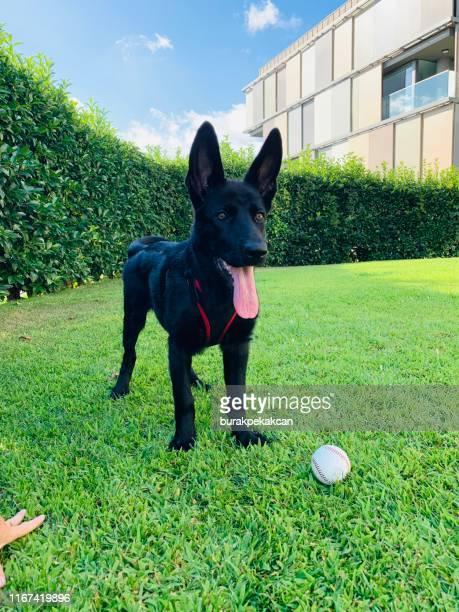 dog, german shepherd, black - guarding stock pictures, royalty-free photos & images