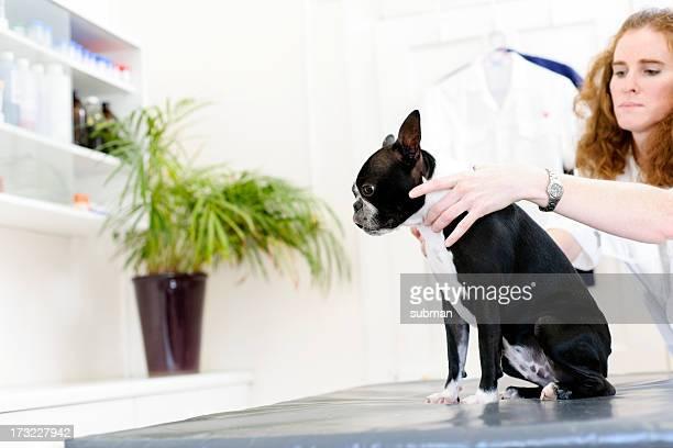 Dog getting flea drops