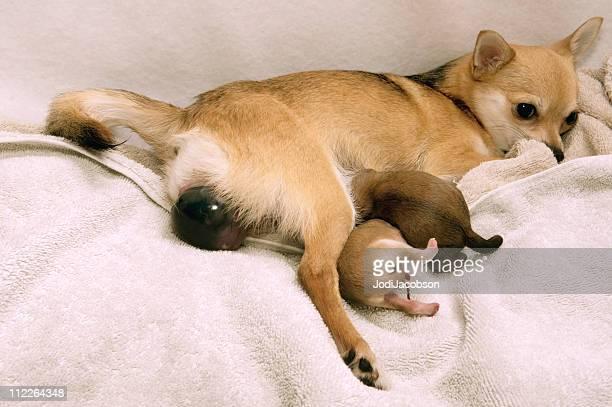 Hund geben Geburt