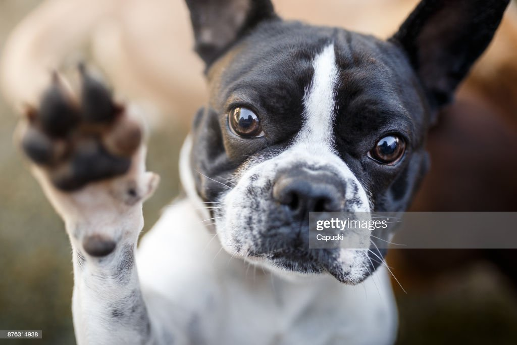 Dog giving paw : Stock Photo