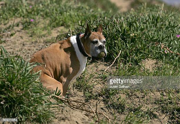 A dog goes to the bathroom behind a bush at Ft Funston February 24 2006 in San Francisco San Francisco is on its way to being the first city in the...