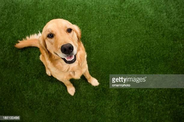 Perro-Golden Retriever mirando hacia arriba