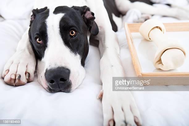 Dog Great Dane eating his bone in bed
