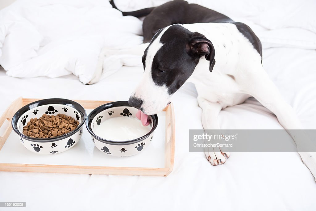 Dog Great Dane eating in bed : Stock Photo