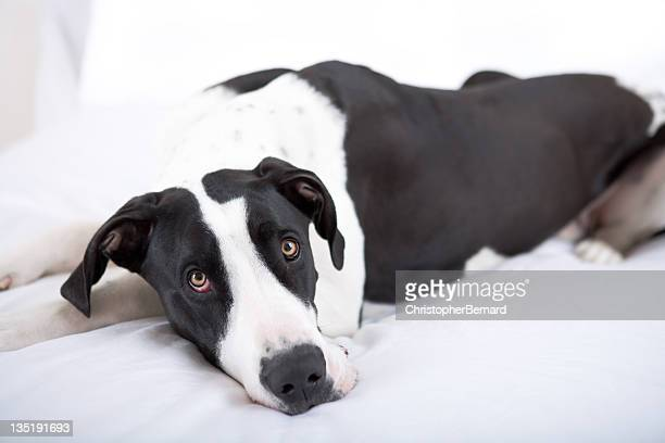 Dog Great Dane lying on bed