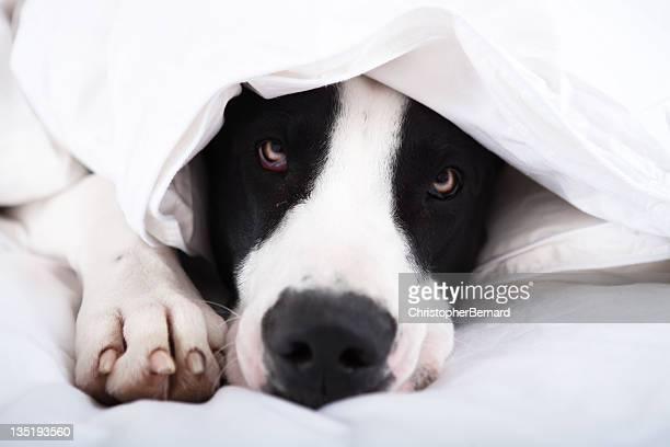 Dog Great Dane lying on bed