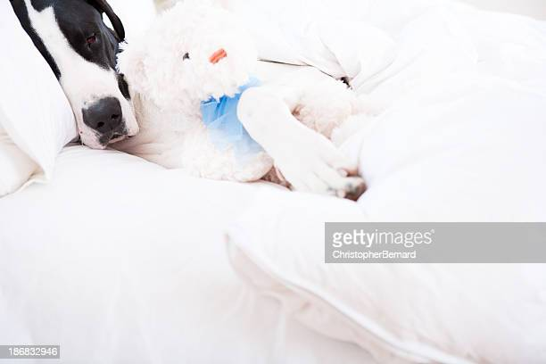 chien great dane dormant dans un lit - oreiller geant photos et images de collection