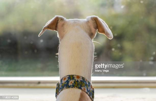 dog greyhound on his back looking out the window - levrette position photos et images de collection