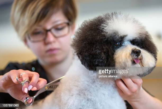 Dog groomer Cristina La Penna from Italy trims the fur of a poodle at the show in Erfurt Germany 18 June 2016 3780 dogs from 240 breeds care...