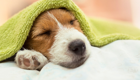 Dog grooming - cute Jack Russell puppy dog sleeping after bath 994814968