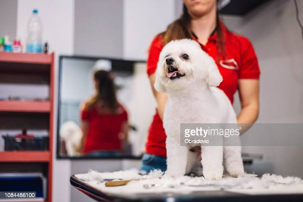 dog grooming - miniature poodle stock photos and pictures