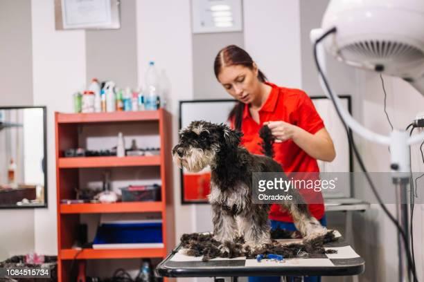 dog grooming - barboncino nano foto e immagini stock