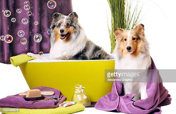 dog grooming - collie stock photos and pictures